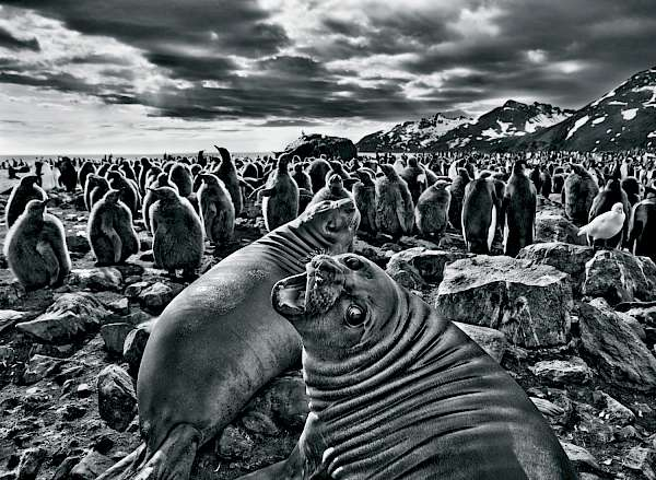 Sebastião Salgado, Southern Elephant Seal Calves at Saint Andrews Bay, South Georgia, 2009, © Sebastião Salgado